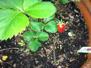 The first strawberry.